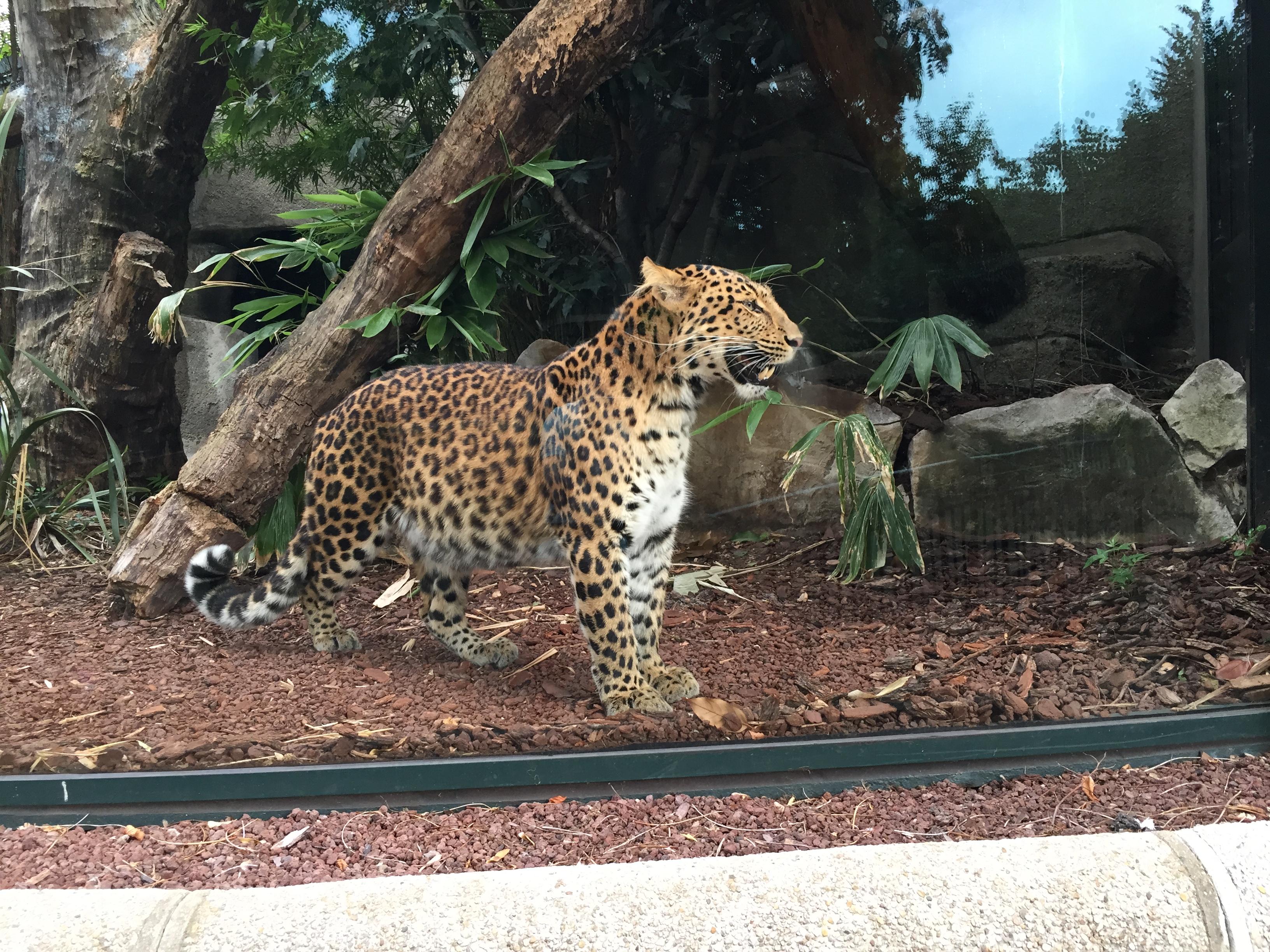 Le zoo du jardin des plantes guépard
