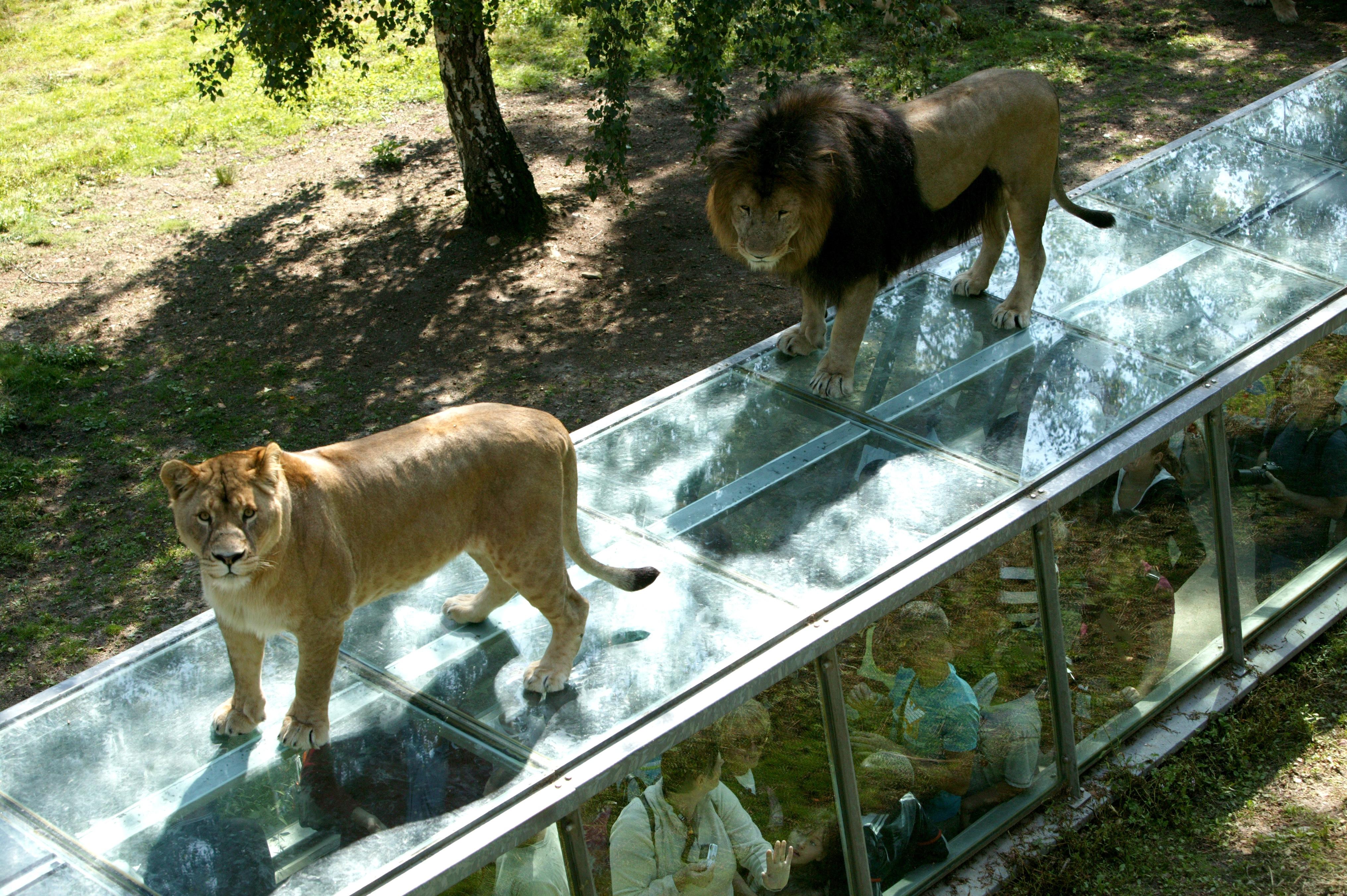 Zoo de thoiry lions