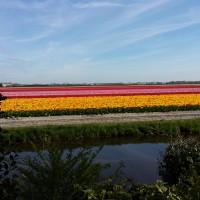 En route pour Rotterdam tulipes