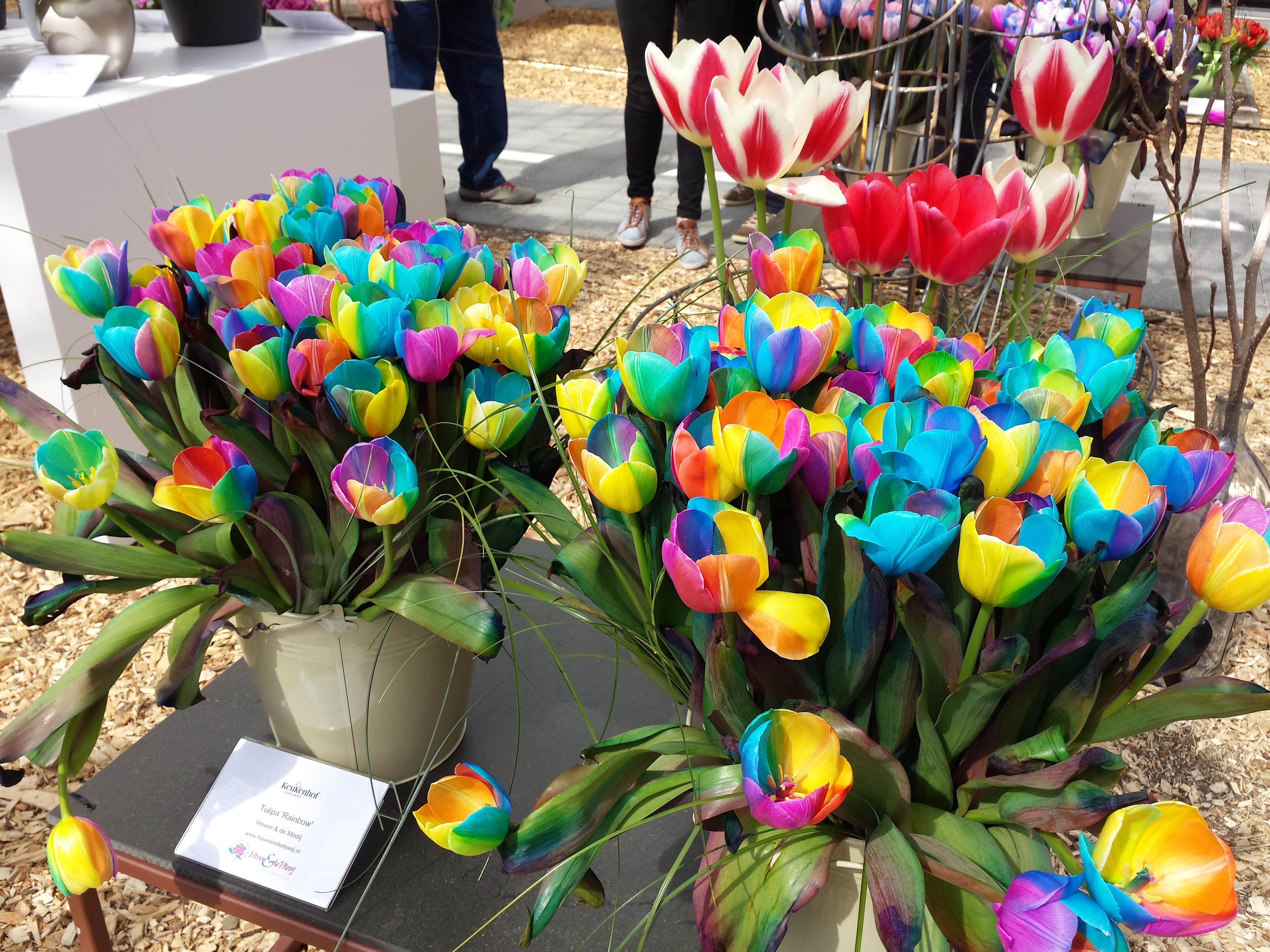 En route pour Rotterdam hollande tulipes
