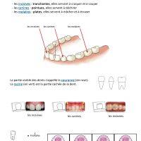 leçon sur les dents ce1 ief