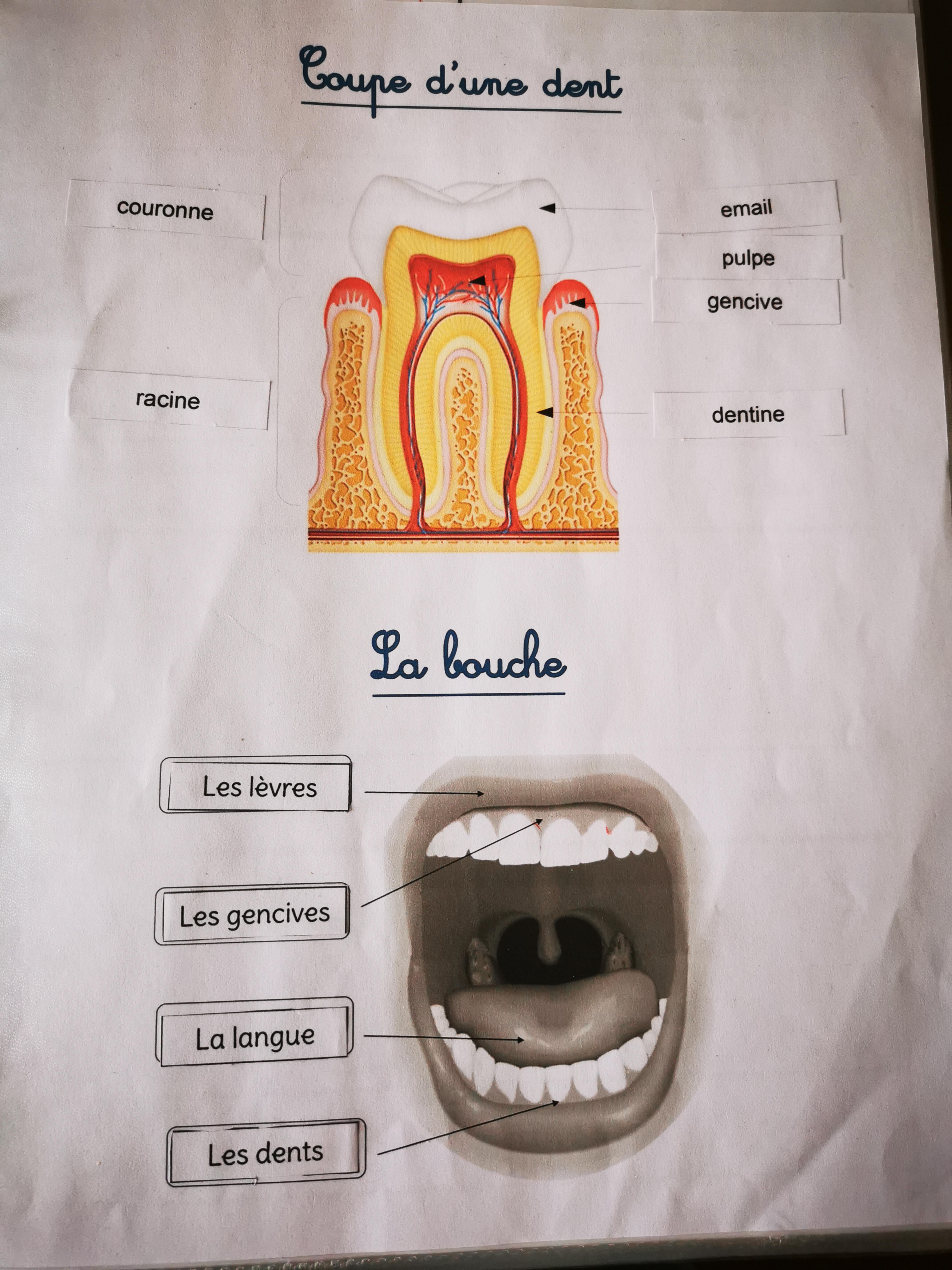 coupe d'une dent - la bouche