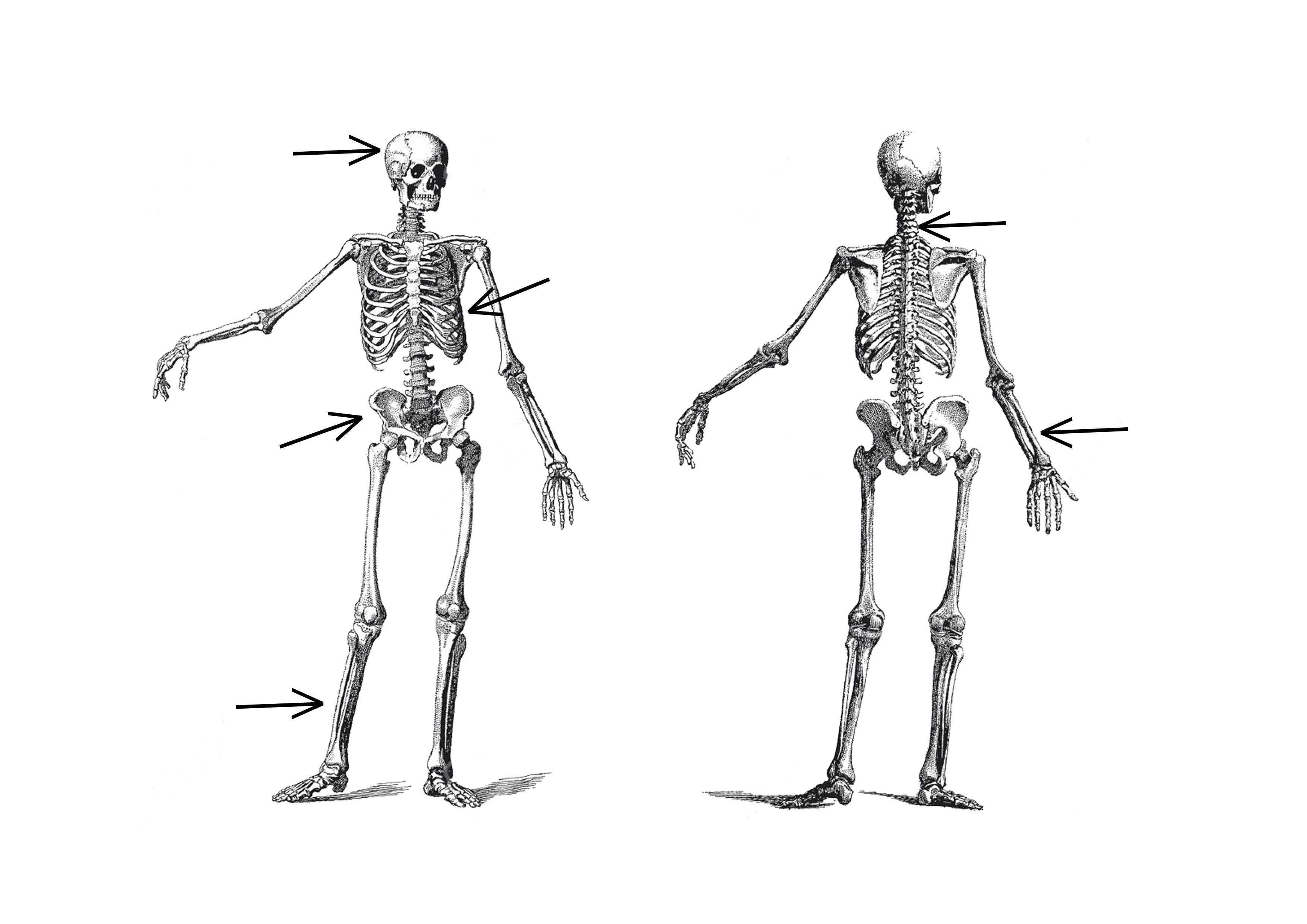 schéma le squelette à compléter