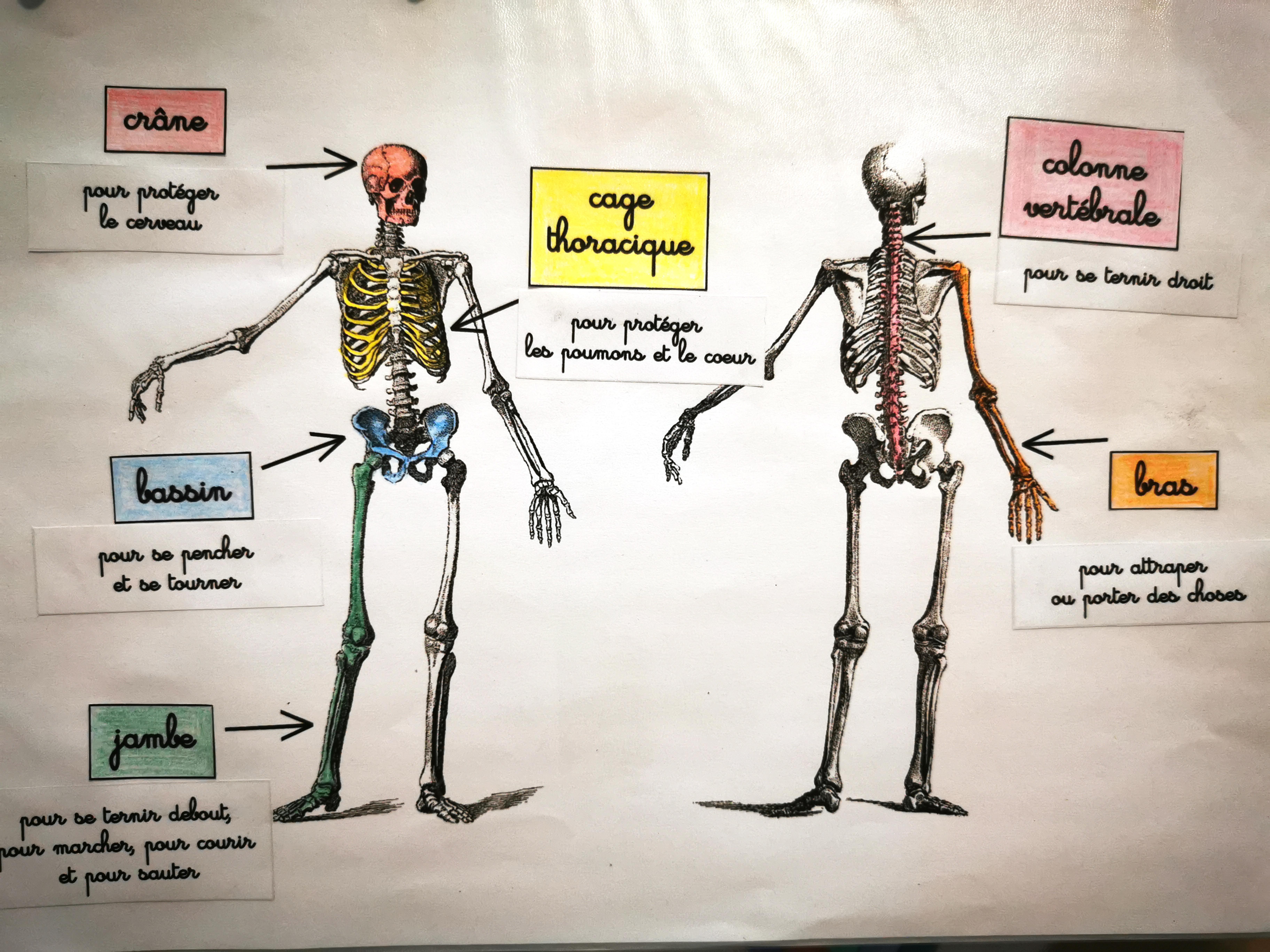 activité squelette