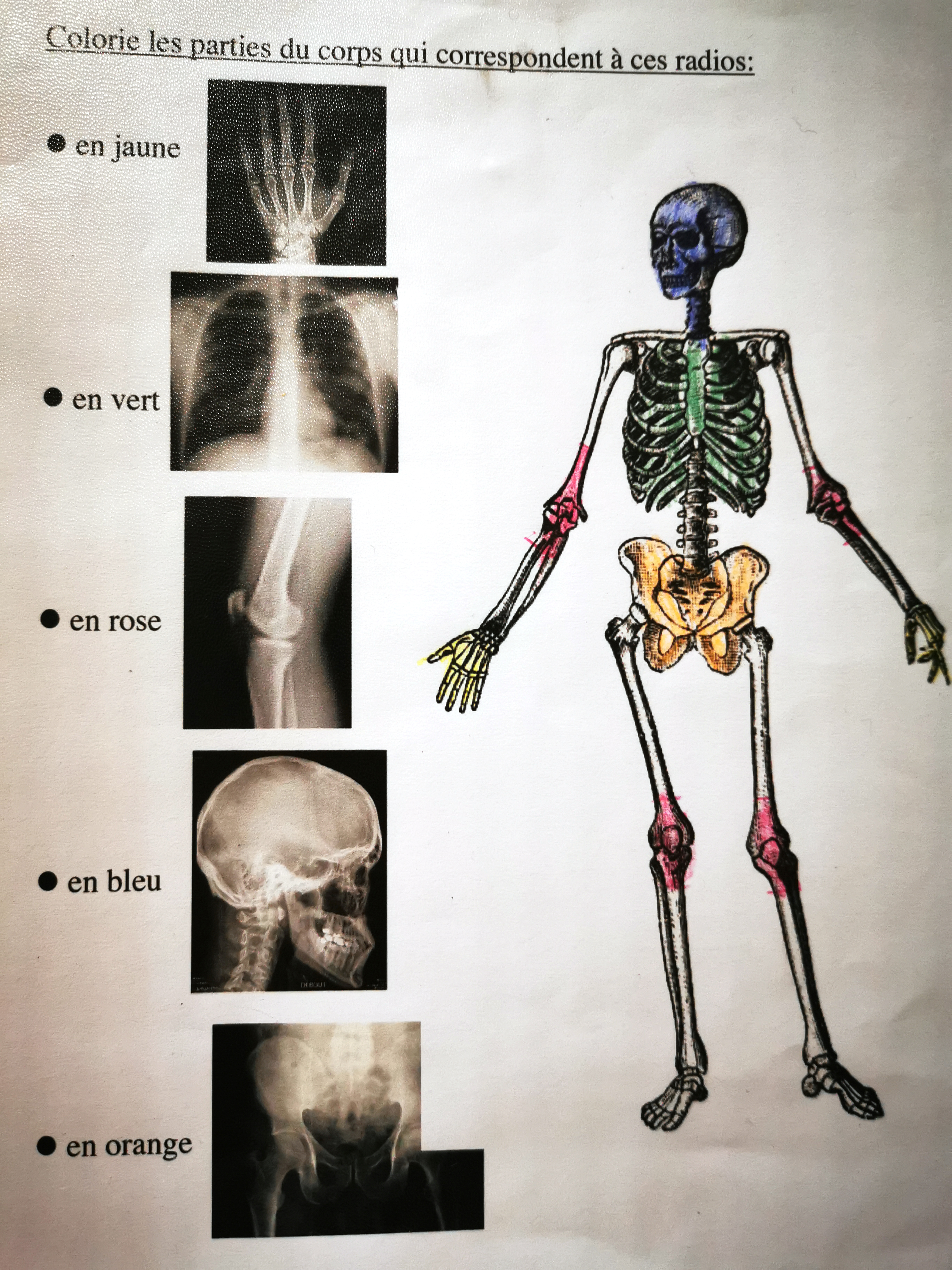 le squelette exercice primaire